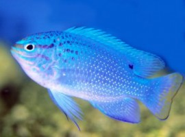 Blue Damselfish Thia Xanh Indo